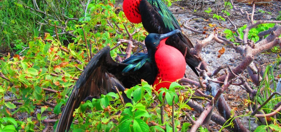 Great Frigatebirds in the Galapagos